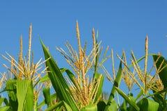 Plantas de milho Foto de Stock