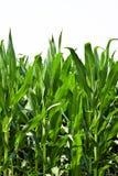 Plantas de milho Fotografia de Stock