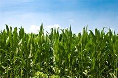 Plantas de milho Imagens de Stock