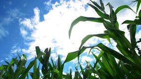 Plantas de milho do milho verde no campo agrícola cultivado pronto para a ensilagem filme