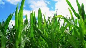 Plantas de milho do milho verde no campo agrícola cultivado pronto para a ensilagem video estoque