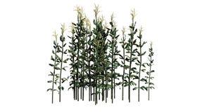 Plantas de milho em um erea da areia ilustração do vetor