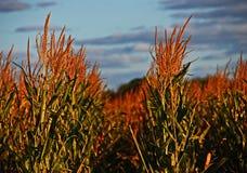 Plantas de milho maduras no por do sol Fotos de Stock