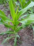 Plantas de milho muito agradáveis em áreas rurais imagens de stock royalty free