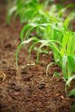 Plantas de milho novas Imagens de Stock Royalty Free
