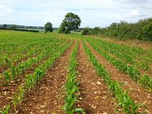Plantas de milho novas que crescem em um campo de exploração agrícola Fotos de Stock Royalty Free