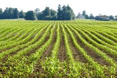 Plantas de milho orgânicas Imagem de Stock