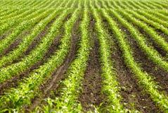 Plantas de milho orgânicas Fotografia de Stock Royalty Free