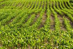 Plantas de milho orgânicas Imagens de Stock Royalty Free