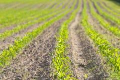 Plantas de milho pequenas Foto de Stock