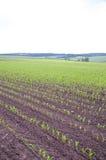 Plantas de milho pequenas Fotos de Stock Royalty Free