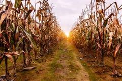 Plantas de milho secas e maduras fotografia de stock