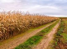 Plantas de milho secas e maduras fotos de stock