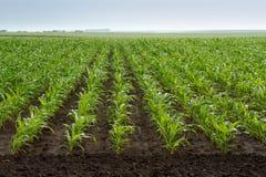 Plantas de milho verde Fotografia de Stock Royalty Free