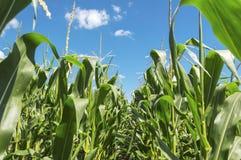 Plantas de milho verde novas Fotografia de Stock