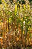 Plantas de milho, Zea maio Fotografia de Stock
