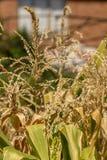 Plantas de milho, Zea maio Imagens de Stock Royalty Free