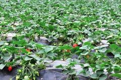 Plantas de morango fotografia de stock royalty free