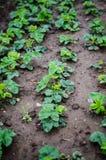 Plantas de morango Imagens de Stock