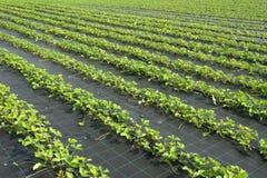Plantas de morango Imagem de Stock Royalty Free