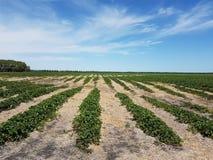 Plantas de morango Imagens de Stock Royalty Free