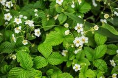 Plantas de morangos de florescência Imagem de Stock