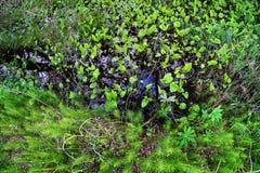 Plantas de pantano grandes Foto de archivo libre de regalías