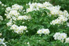 Plantas de patata florecientes blancas Foto de archivo