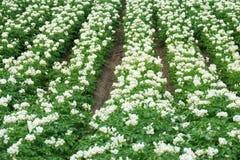 Plantas de patata florecientes blancas Imágenes de archivo libres de regalías