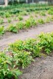 Plantas de patatas que crecen en camas aumentadas en huerto en el Su Imágenes de archivo libres de regalías