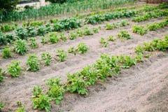 Plantas de patatas que crecen en camas aumentadas en huerto en verano Imágenes de archivo libres de regalías