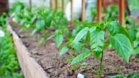 Plantas de pimienta dulce en invernadero fotos de archivo