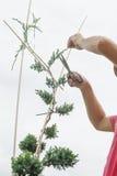 Plantas de poda perto acima Coníferas profissionais de Pruning do jardineiro Fotografia de Stock