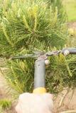 Plantas de poda perto acima Coníferas profissionais de Pruning do jardineiro Imagem de Stock