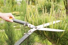 Plantas de poda perto acima Coníferas profissionais de Pruning do jardineiro Fotos de Stock