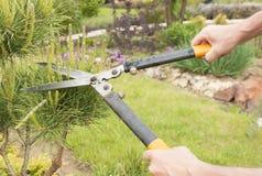 Plantas de poda perto acima Coníferas profissionais de Pruning do jardineiro Fotografia de Stock Royalty Free