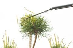 Plantas de poda perto acima Coníferas profissionais de Pruning do jardineiro Imagens de Stock Royalty Free