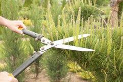 Plantas de poda perto acima Coníferas profissionais de Pruning do jardineiro Imagem de Stock Royalty Free