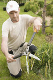 Plantas de poda perto acima Coníferas profissionais de Pruning do jardineiro Fotos de Stock Royalty Free