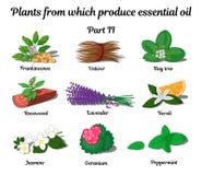 Plantas de que óleos essenciais do produto Parte 2 Fotografia de Stock Royalty Free