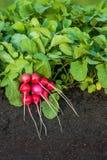 Plantas de rábano rojo con el manojo de rábanos Imagen de archivo