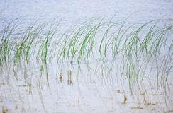Plantas de Reed en el agua abierta del lago florida Fotos de archivo