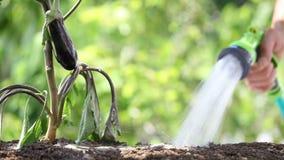 Plantas de riego de la mano Berenjena en huerto Cierre para arriba metrajes