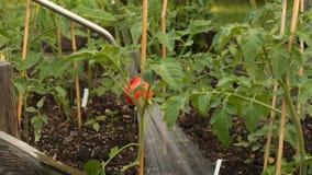 Plantas de riego del tomatoe con la lanza del espray de agua en jardín metrajes