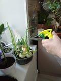 Plantas de riego en el alféizar en la cocina fotografía de archivo
