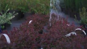 Plantas de riego en el jardín metrajes