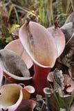 Plantas de Roraima Fotografía de archivo