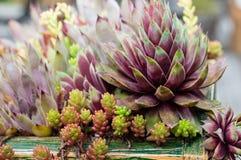 Plantas de Sedum em um telhado verde Foto de Stock