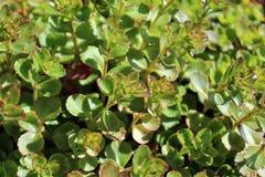 Plantas de Sedum no início do verão Foto de Stock Royalty Free