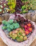 Plantas de Sedum usadas para los usos verdes del tejado Foto de archivo
